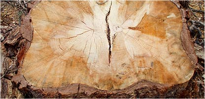 image of beetle stained wood stump
