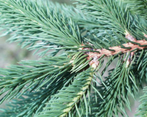 image of Spruce needles on branches
