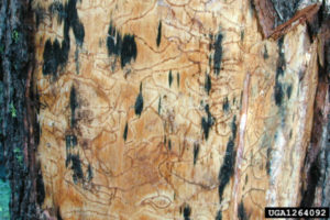 image of fungal blue stain on wood