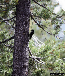 image of woodpecker on a beetle infested pine tree