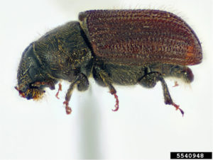 image of Douglas-Fir Beetle, Dendroctonus pseudotsugae Hopkins