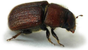 image of Red Turpentine Beetle, Dendroctonus valens