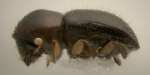 Image of Euwallacea fornicatus Tea shothole borer & Polyphagous shothole borer