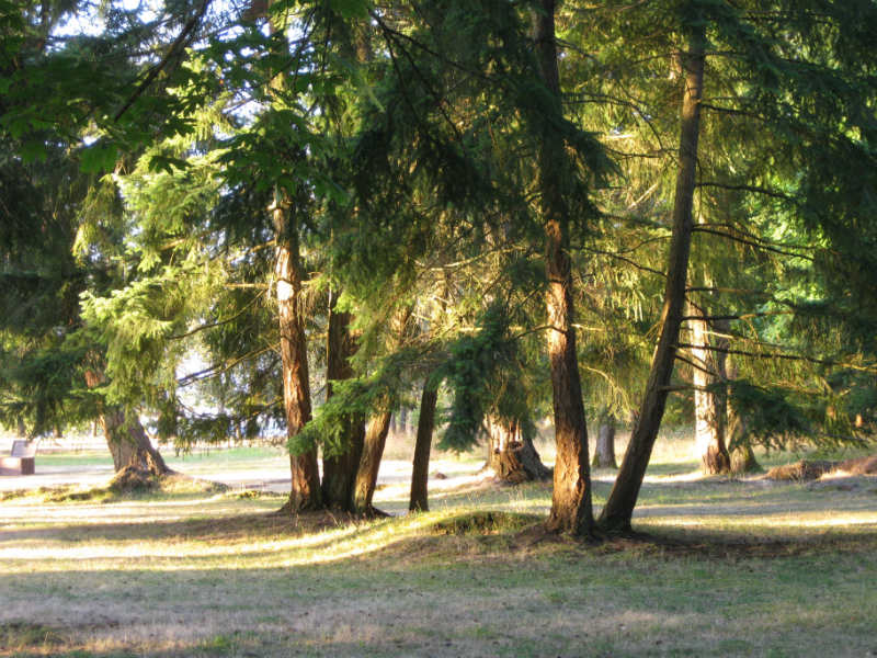 image of Douglas Fir Trees in a park