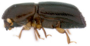 image of Xyleborus glabratus Red Bay Ambrosia Beetle