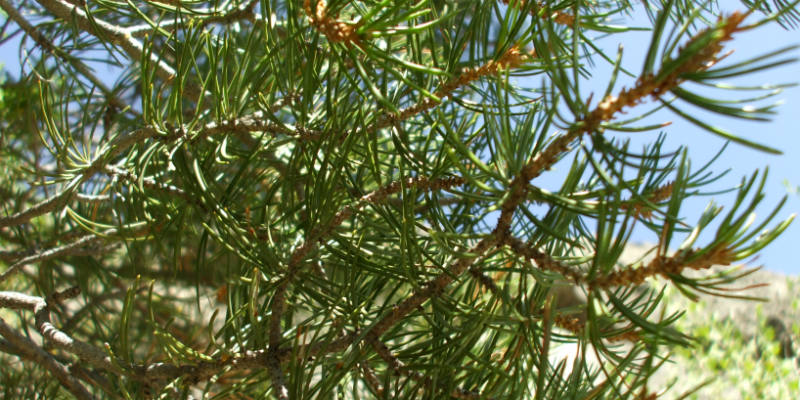 image of pine tree branches
