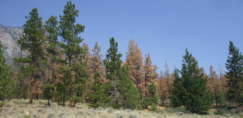 image of healthy and bark beetle infected dead trees