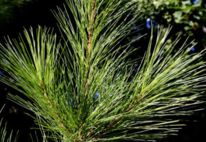 image of pine needles on branches
