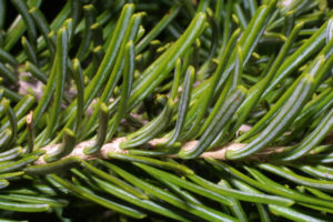 image of fir needles on a branch