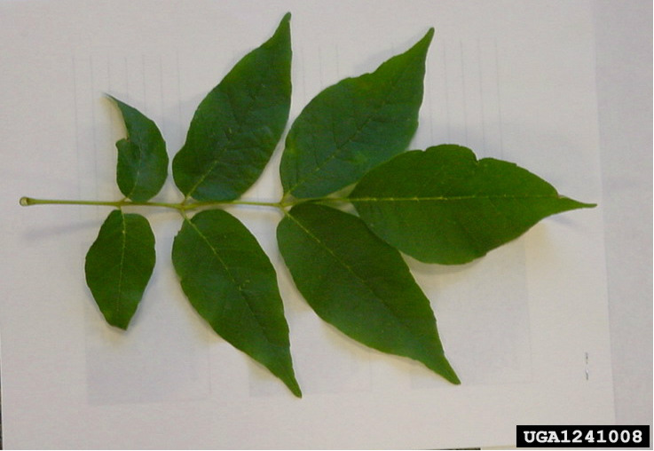 image of ash leaves