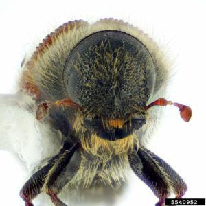 image of Spruce Beetle, Dendroctonus rufipennis