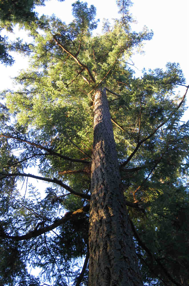 Douglas Fir Tree image