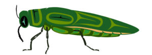 drawing of emerald ash borer beetle